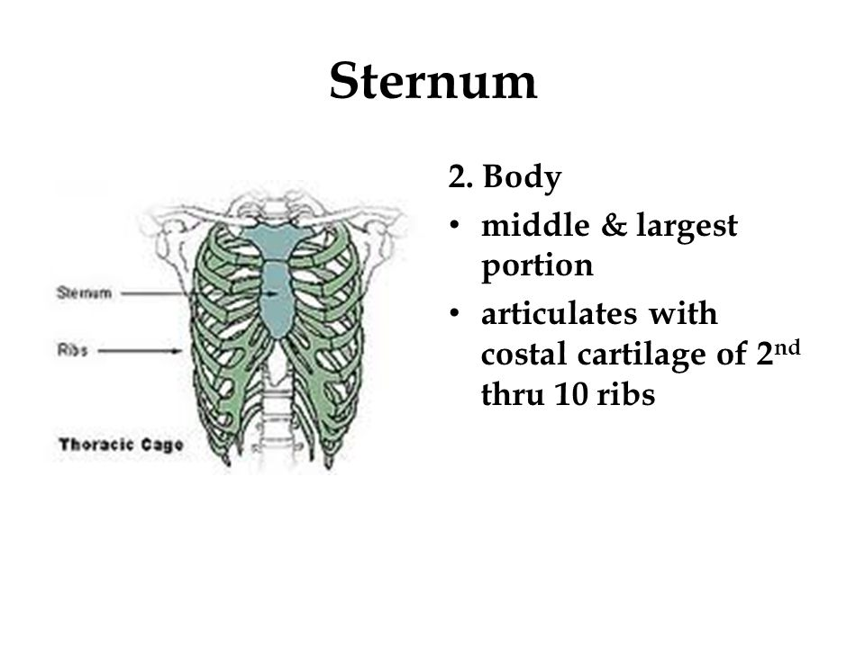 Sternum 2. Body middle & largest portion articulates with costal cartilage of 2 nd thru 10 ribs