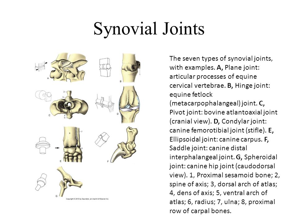 Synovial Joints The seven types of synovial joints, with examples. A, Plane joint: articular processes of equine cervical vertebrae. B, Hinge joint: e