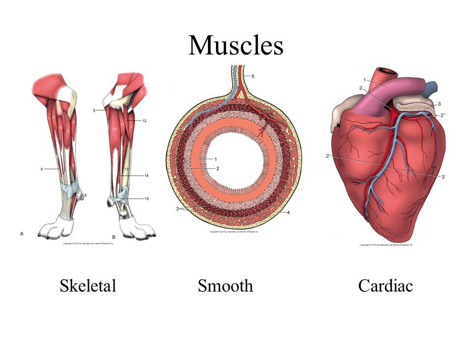 Muscles Skeletal Smooth Cardiac