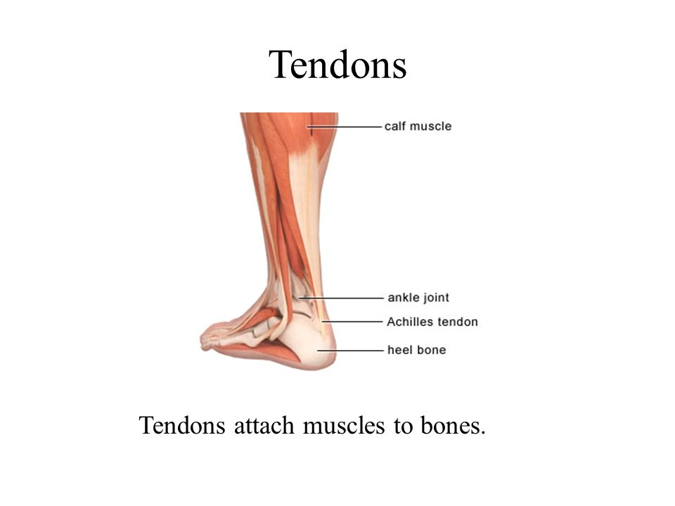 Tendons Tendons attach muscles to bones.