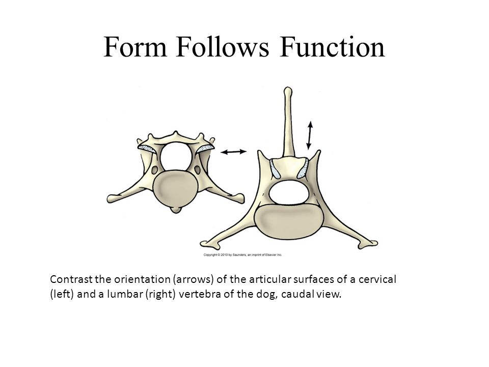 Form Follows Function Contrast the orientation (arrows) of the articular surfaces of a cervical (left) and a lumbar (right) vertebra of the dog, cauda