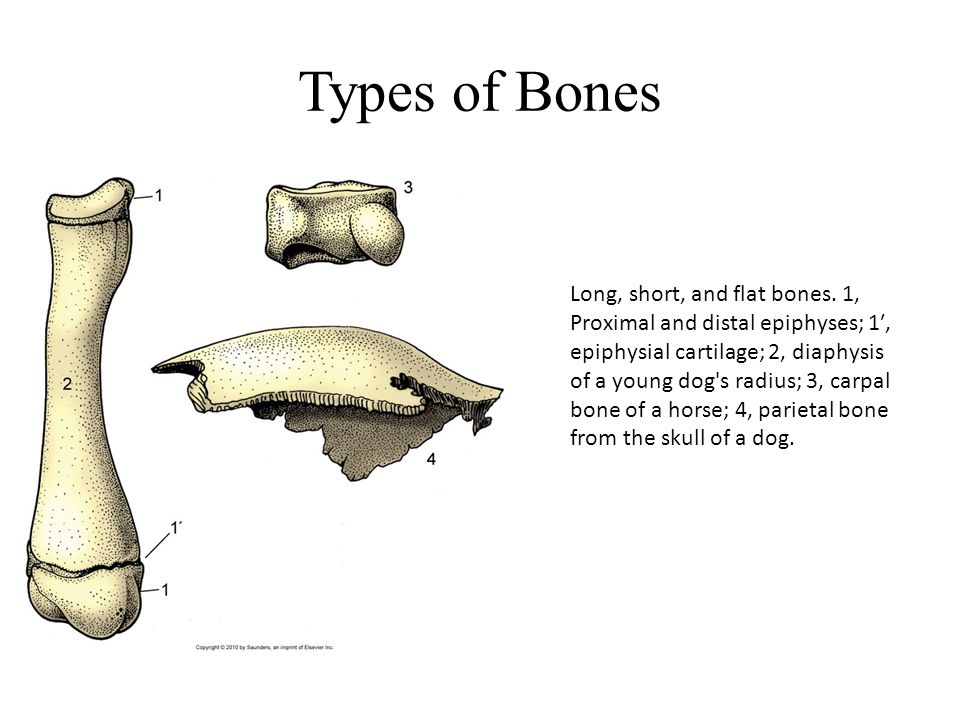 Types of Bones Long, short, and flat bones. 1, Proximal and distal epiphyses; 1′, epiphysial cartilage; 2, diaphysis of a young dog's radius; 3, carpa