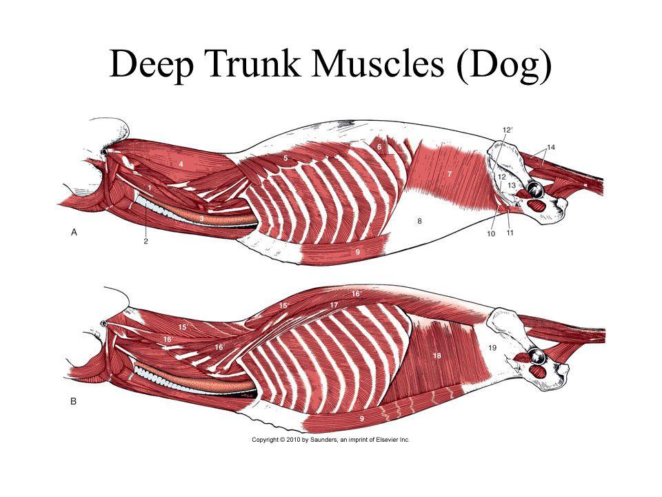 Deep Trunk Muscles (Dog)