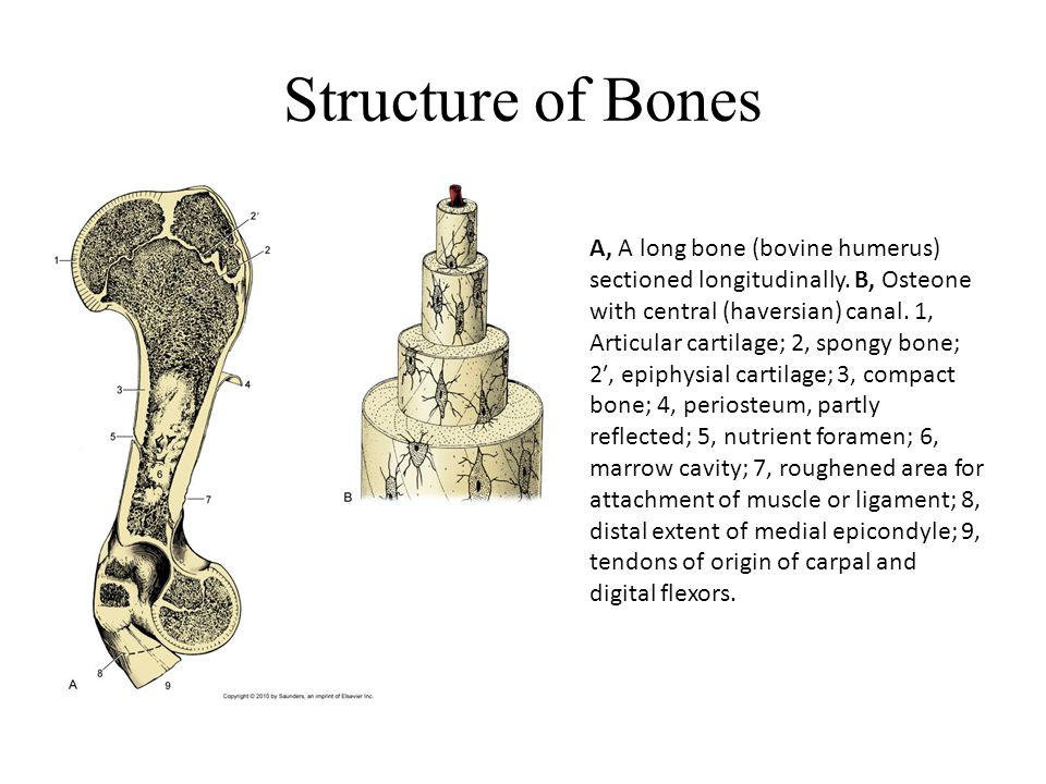Structure of Bones A, A long bone (bovine humerus) sectioned longitudinally. B, Osteone with central (haversian) canal. 1, Articular cartilage; 2, spo