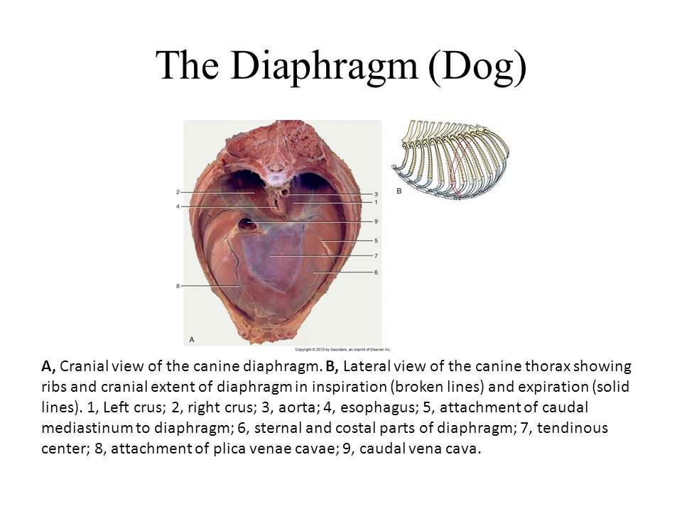 The Diaphragm (Dog) A, Cranial view of the canine diaphragm. B, Lateral view of the canine thorax showing ribs and cranial extent of diaphragm in insp