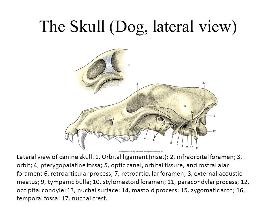 The Skull (Dog, lateral view) Lateral view of canine skull. 1, Orbital ligament (inset); 2, infraorbital foramen; 3, orbit; 4, pterygopalatine fossa;
