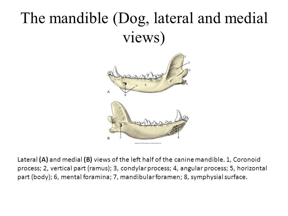 The mandible (Dog, lateral and medial views) Lateral (A) and medial (B) views of the left half of the canine mandible.