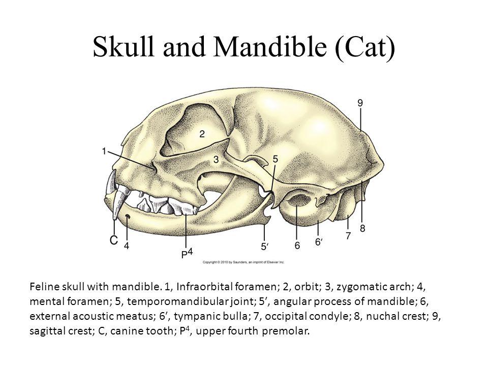 Skull and Mandible (Cat) Feline skull with mandible.
