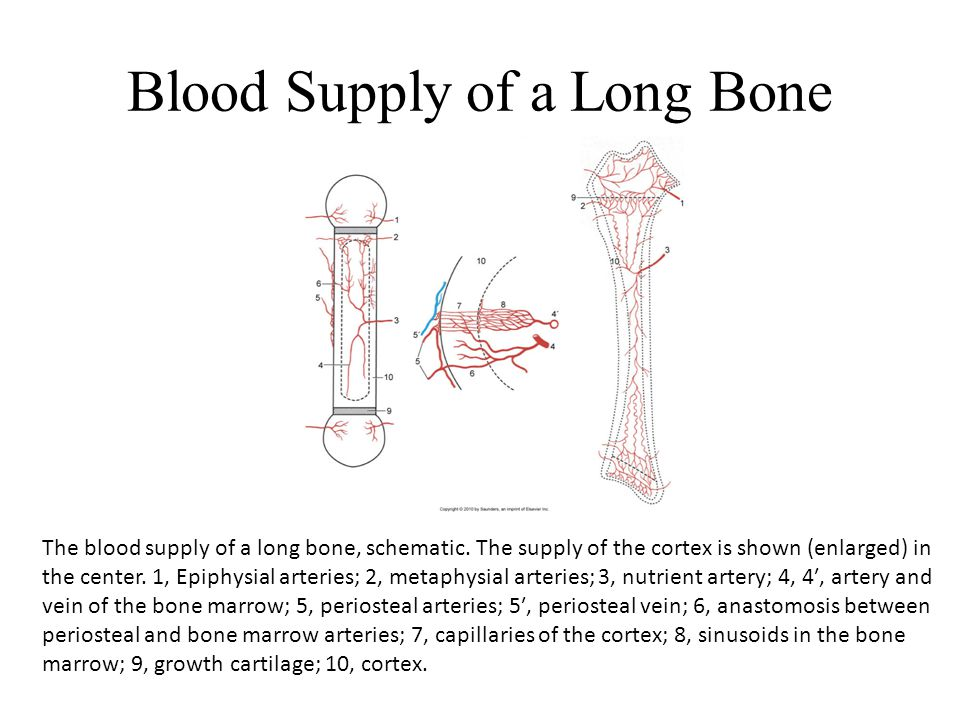 Blood Supply of a Long Bone The blood supply of a long bone, schematic. The supply of the cortex is shown (enlarged) in the center. 1, Epiphysial arte