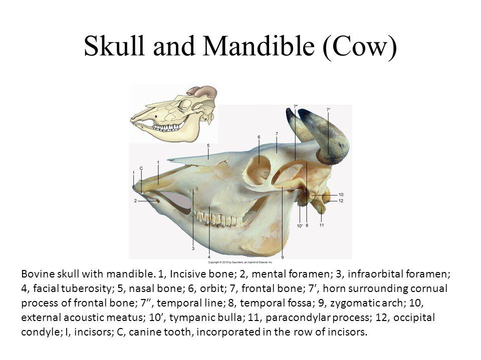 Skull and Mandible (Cow) Bovine skull with mandible.