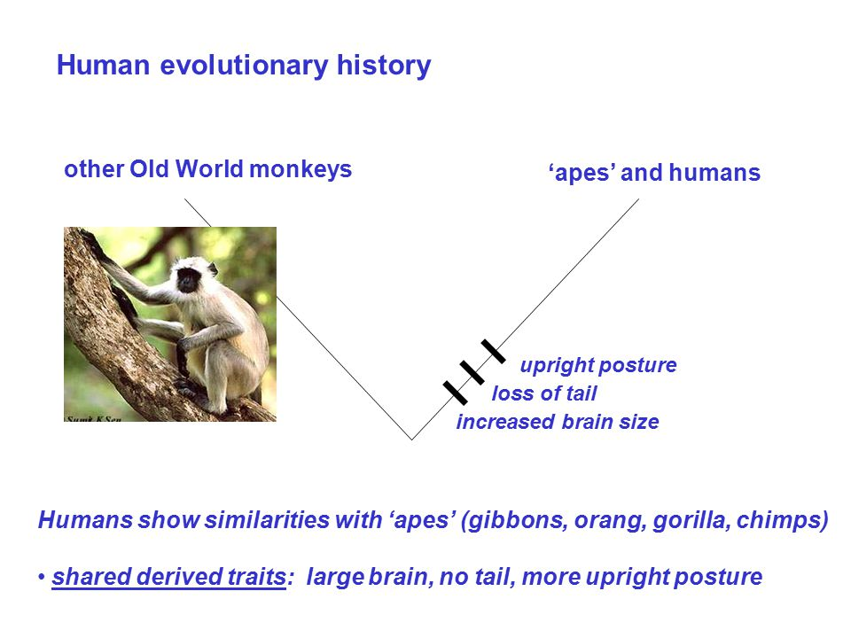 Human evolutionary history Humans show similarities with 'apes' (gibbons, orang, gorilla, chimps) shared derived traits: large brain, no tail, more upright posture other Old World monkeys 'apes' and humans increased brain size loss of tail upright posture