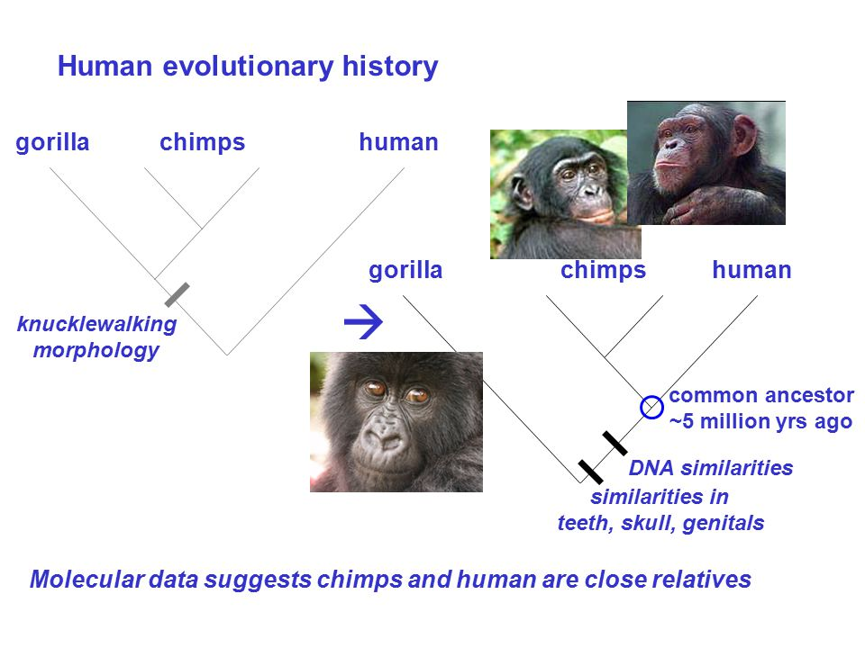 Human evolutionary history Molecular data suggests chimps and human are close relatives human similarities in teeth, skull, genitals gorilla  chimps human knucklewalking morphology gorillachimps DNA similarities common ancestor ~5 million yrs ago