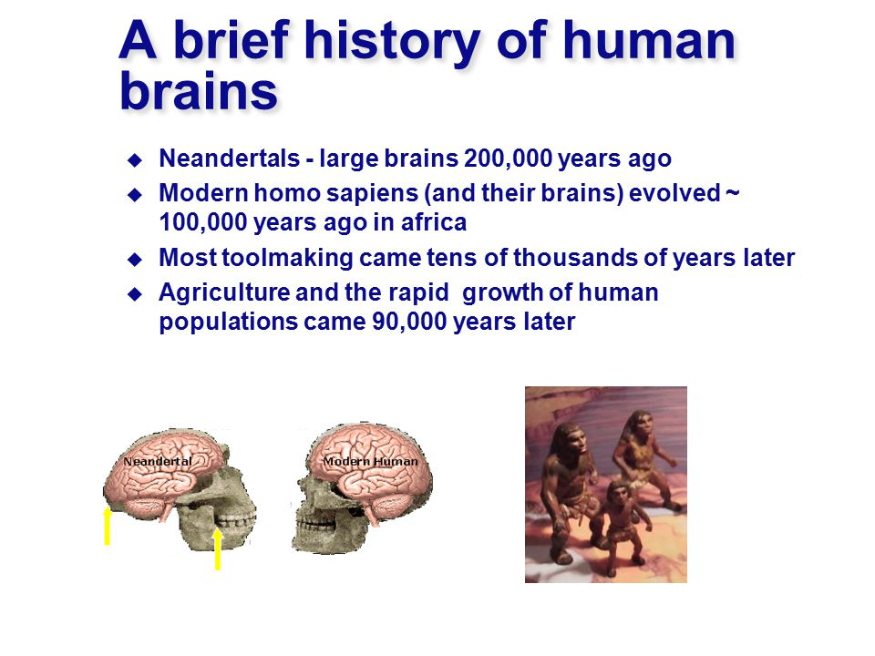 A brief history of human brains  Neandertals - large brains 200,000 years ago  Modern homo sapiens (and their brains) evolved ~ 100,000 years ago in