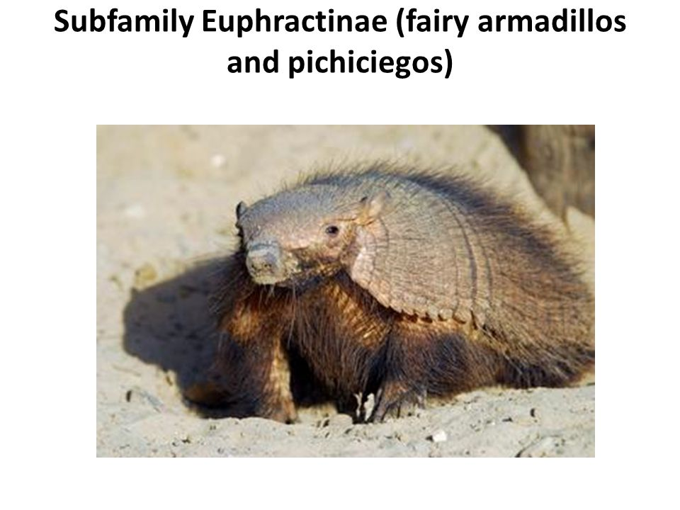 Subfamily Euphractinae (fairy armadillos and pichiciegos)