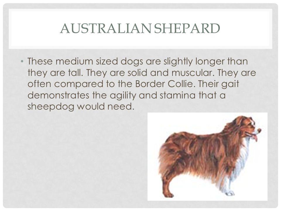 AUSTRALIAN SHEPARD HEIGHTMINMAXWEIGHTMINMAX Female18 21 Female35 lbs.70 lbs.