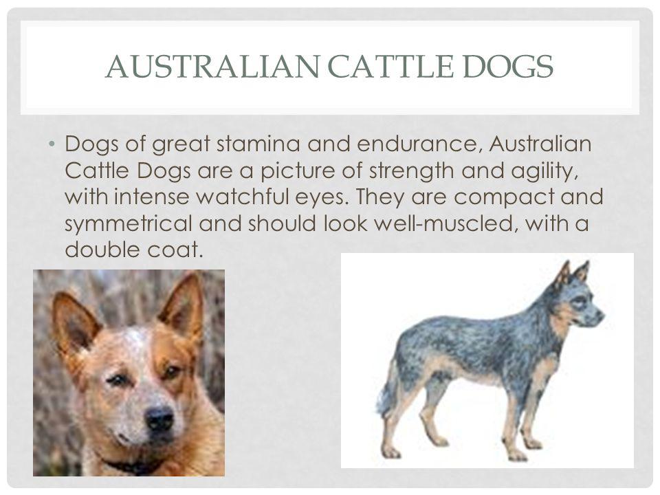 AUSTRALIAN CATTLE DOGS HEIGHTMINMAXWEIGHTMINMAX Female17 19 Female35 lbs.44 lbs.