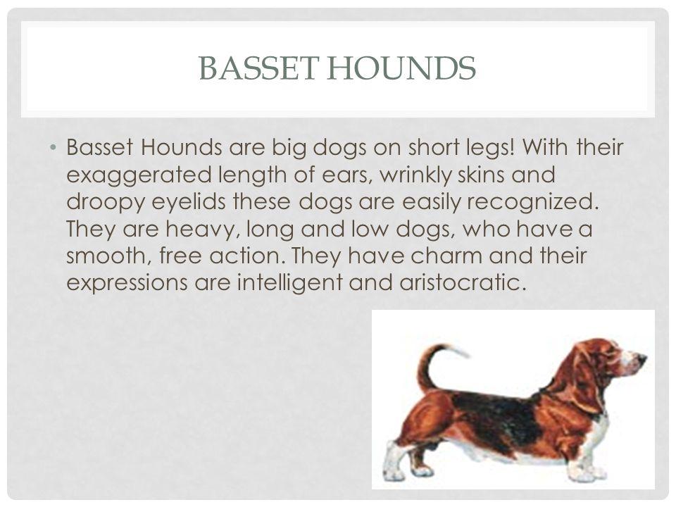 BASSET HOUNDS HEIGHTMINMAXWEIGHTMINMAX Female13 15 Female40 lbs.60 lbs.