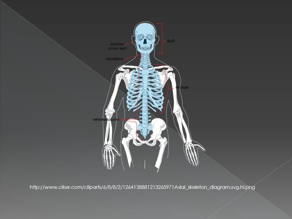 http://www.clker.com/cliparts/6/8/8/2/1264138881213265971Axial_skeleton_diagram.svg.hi.png