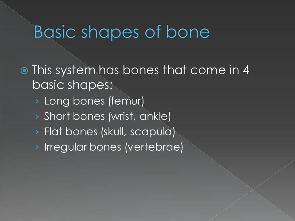  This system has bones that come in 4 basic shapes: › Long bones (femur) › Short bones (wrist, ankle) › Flat bones (skull, scapula) › Irregular bones