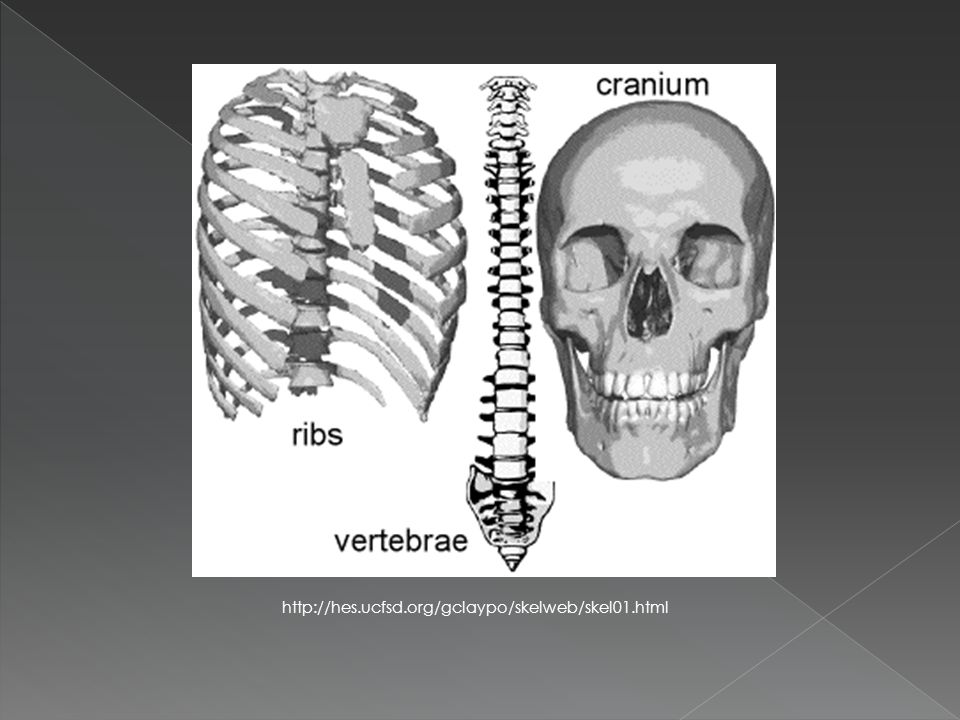  YES  Old bones are dry, dead, and brittle  In the human body, however, bones are very much alive  Bones are a mixture of › Strength › Living cells (aiding in growth and self-repair)