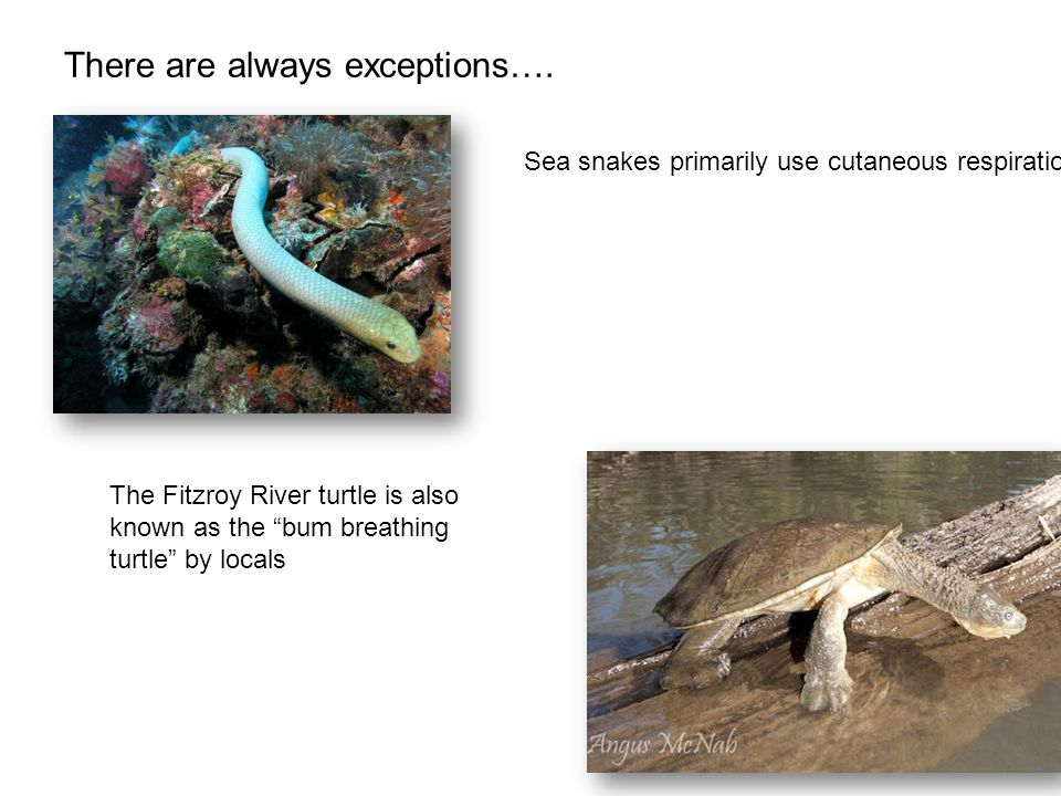 """There are always exceptions…. Sea snakes primarily use cutaneous respiration The Fitzroy River turtle is also known as the """"bum breathing turtle"""" by l"""