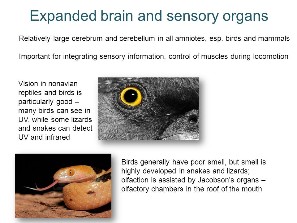 Expanded brain and sensory organs Relatively large cerebrum and cerebellum in all amniotes, esp. birds and mammals Important for integrating sensory i