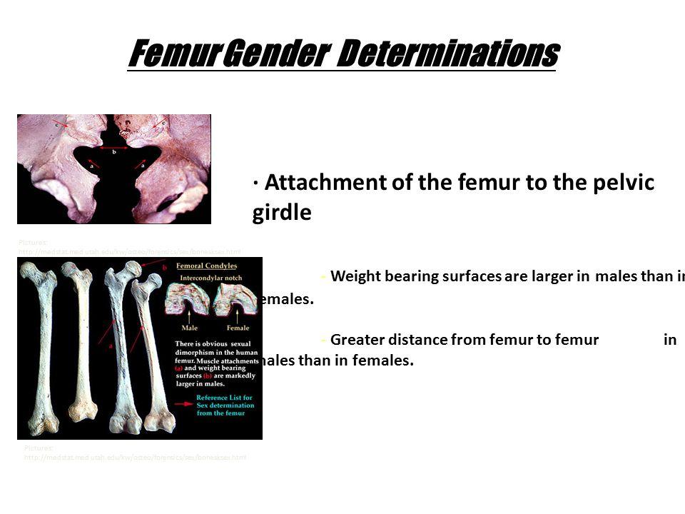 Femur Gender Determinations Pictures: http://medstat.med.utah.edu/kw/osteo/forensics/sex/bonesksex.html · Attachment of the femur to the pelvic girdle