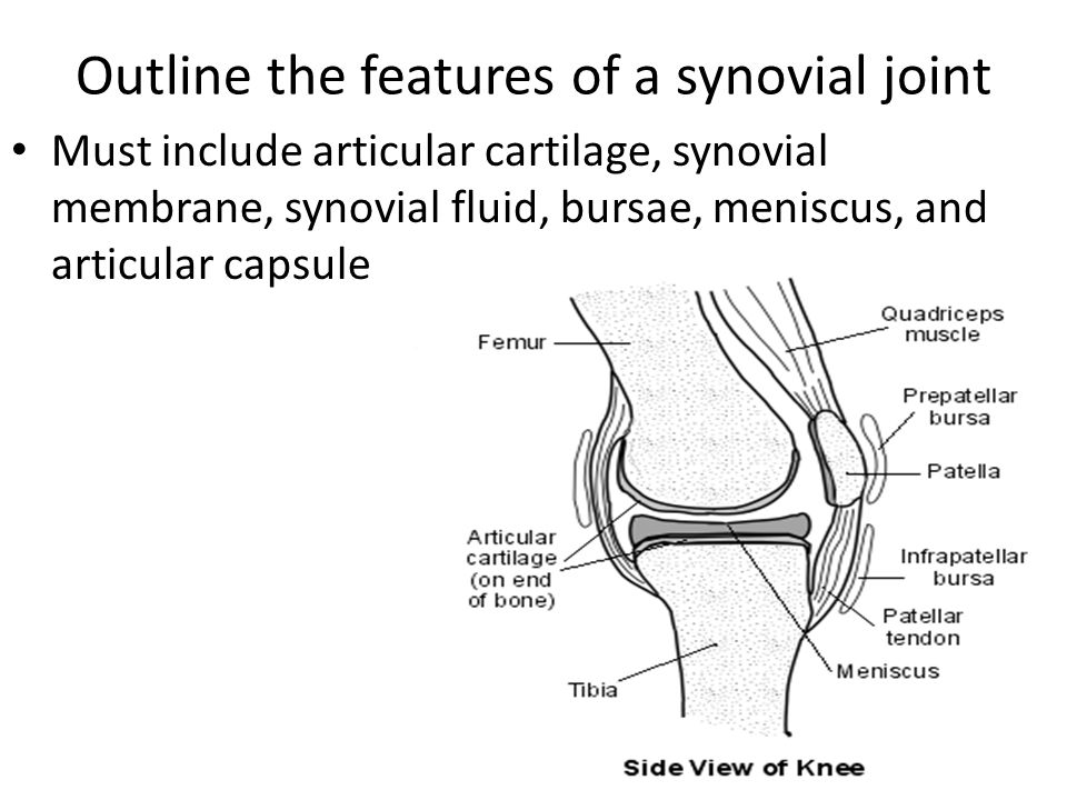 Outline the features of a synovial joint Must include articular cartilage, synovial membrane, synovial fluid, bursae, meniscus, and articular capsule