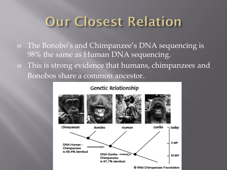  The Bonobo's and Chimpanzee's DNA sequencing is 98% the same as Human DNA sequencing.