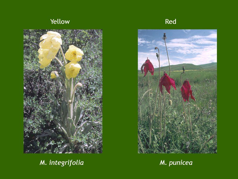 3. Meconopsis poppies M. racemosa Blue