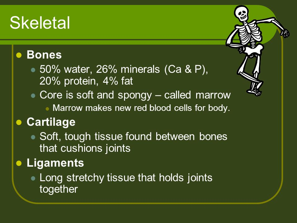 Skeletal Bones 50% water, 26% minerals (Ca & P), 20% protein, 4% fat Core is soft and spongy – called marrow Marrow makes new red blood cells for body