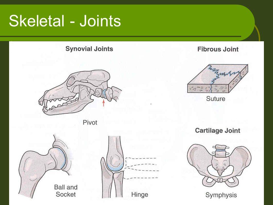 Skeletal - Joints