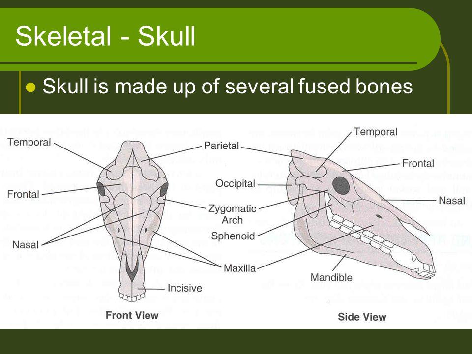 Skeletal - Skull Skull is made up of several fused bones