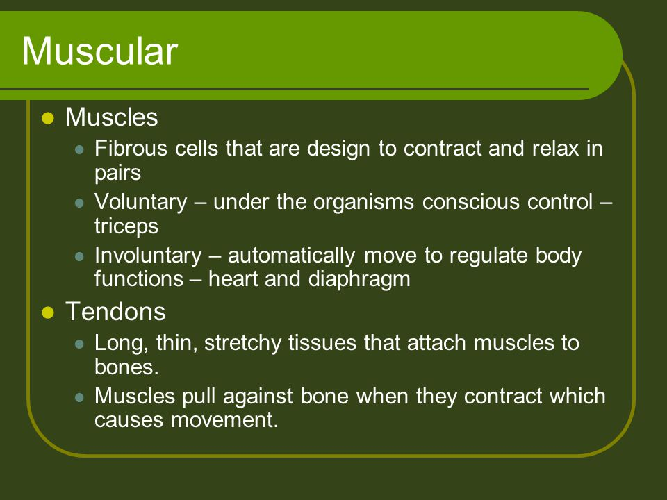 Muscular Muscles Fibrous cells that are design to contract and relax in pairs Voluntary – under the organisms conscious control – triceps Involuntary