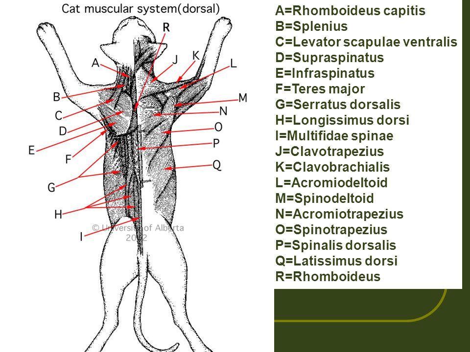 A=Rhomboideus capitis B=Splenius C=Levator scapulae ventralis D=Supraspinatus E=Infraspinatus F=Teres major G=Serratus dorsalis H=Longissimus dorsi I=