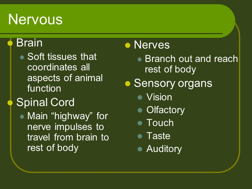 """Nervous Brain Soft tissues that coordinates all aspects of animal function Spinal Cord Main """"highway"""" for nerve impulses to travel from brain to rest"""