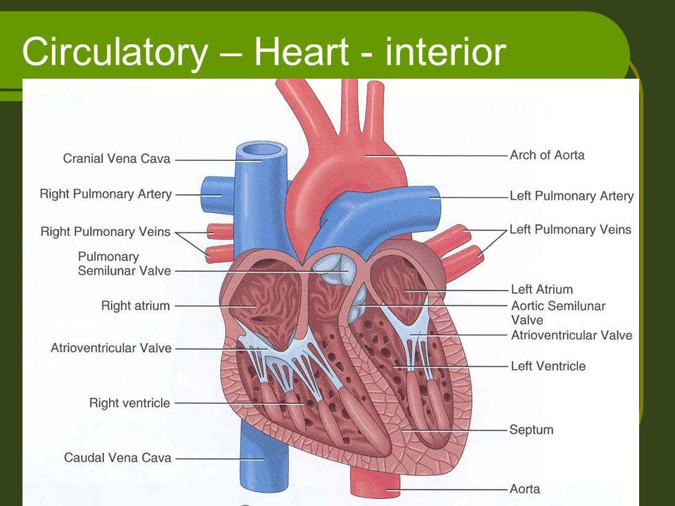 Circulatory – Heart - interior