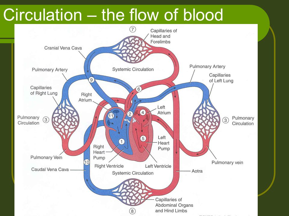 Circulation – the flow of blood