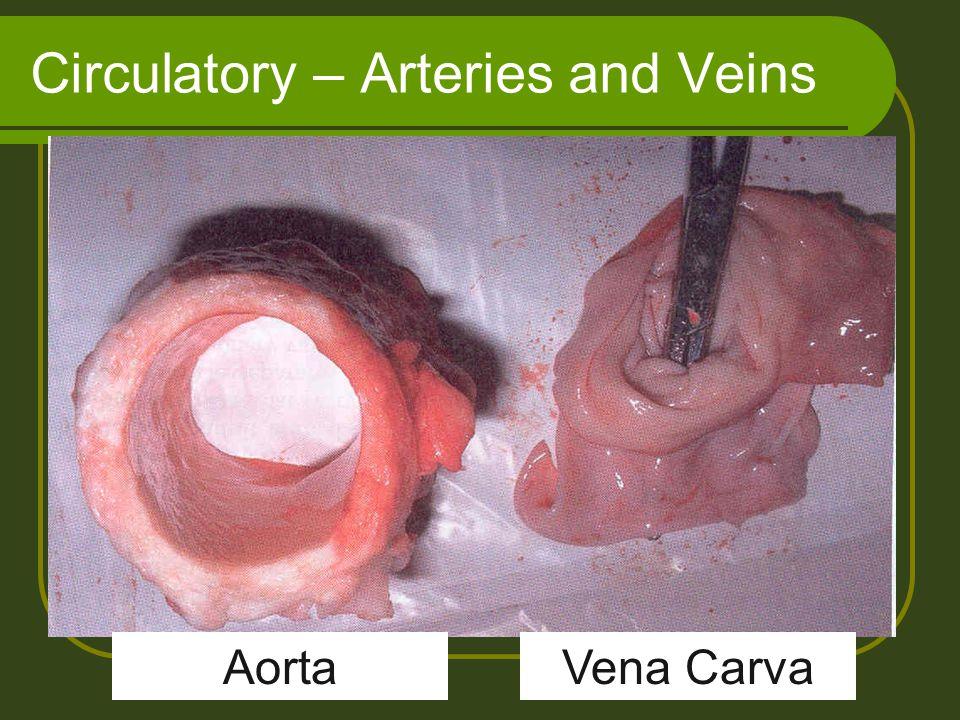 Circulatory – Arteries and Veins Vena CarvaAorta