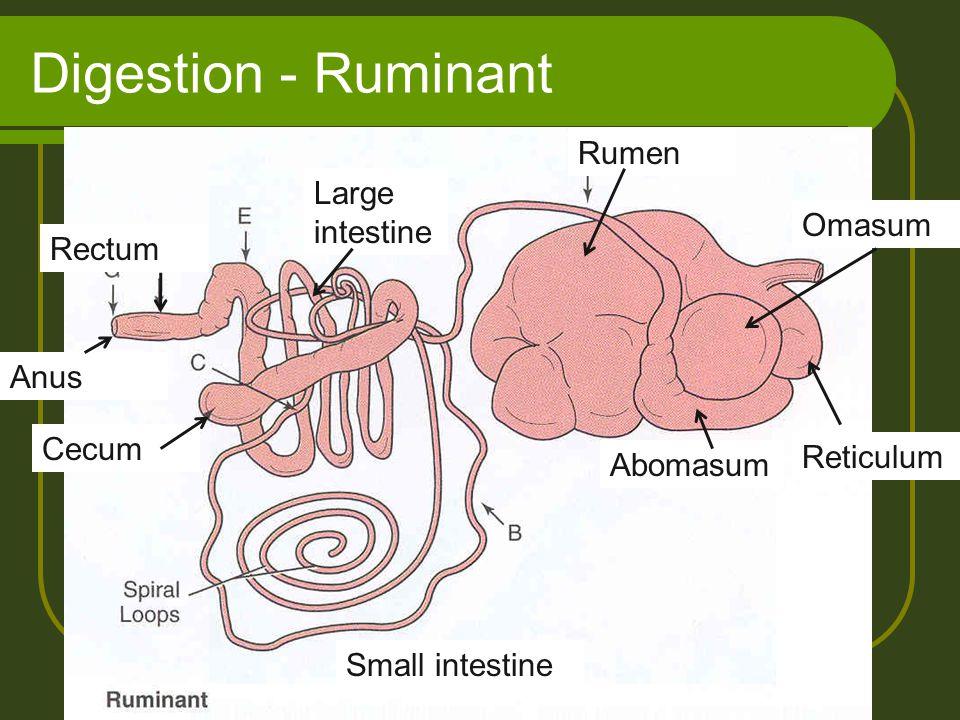 Digestion - Ruminant Reticulum Rumen Omasum Abomasum Small intestine Large intestine Cecum Anus Rectum
