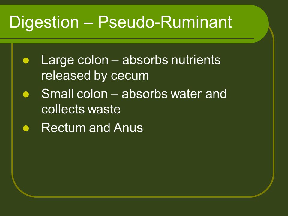 Digestion – Pseudo-Ruminant Large colon – absorbs nutrients released by cecum Small colon – absorbs water and collects waste Rectum and Anus