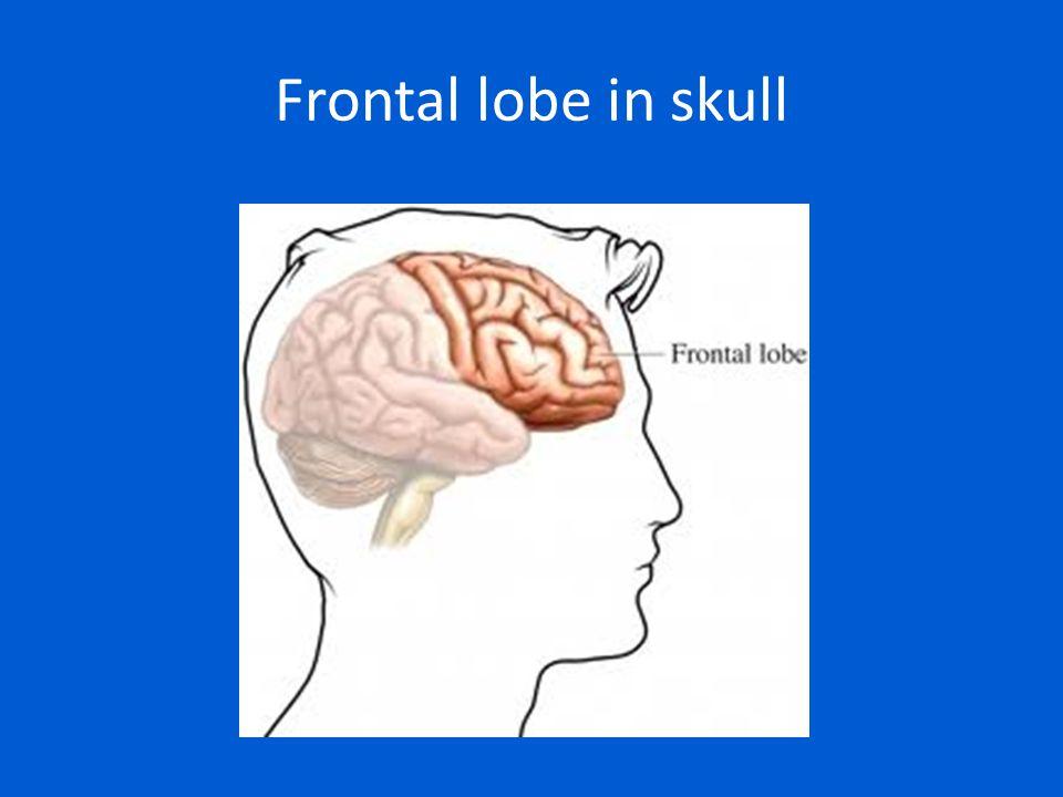 Frontal lobe in skull