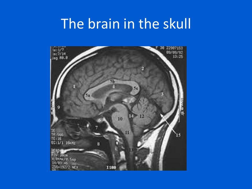 The brain in the skull