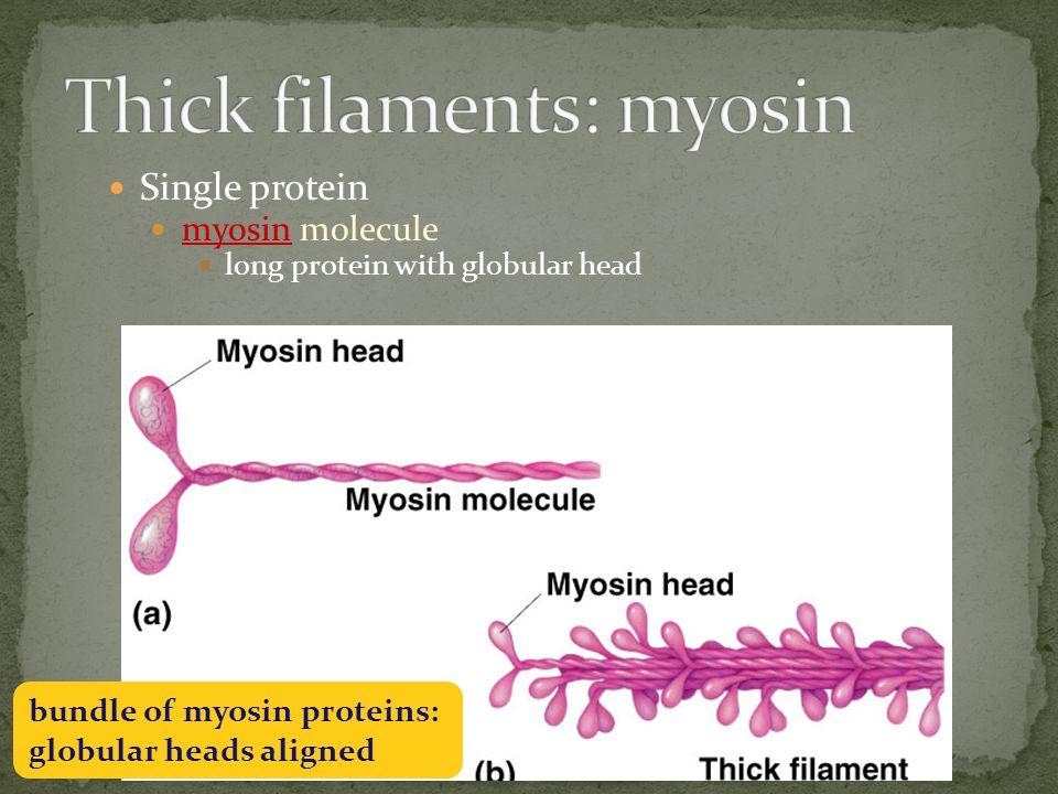 Complex of proteins braid of actin molecules & tropomyosin fibers tropomyosin fibers secured with troponin molecules