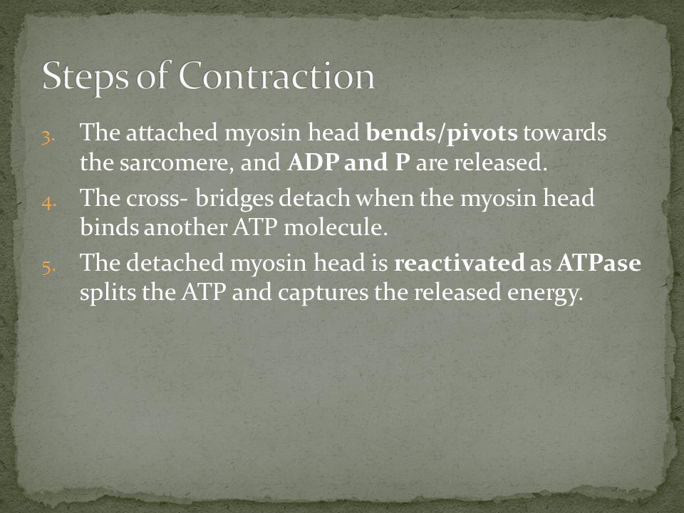 1.A. Upon stimulation, Ca 2+ binds to receptor on troponin molecule.