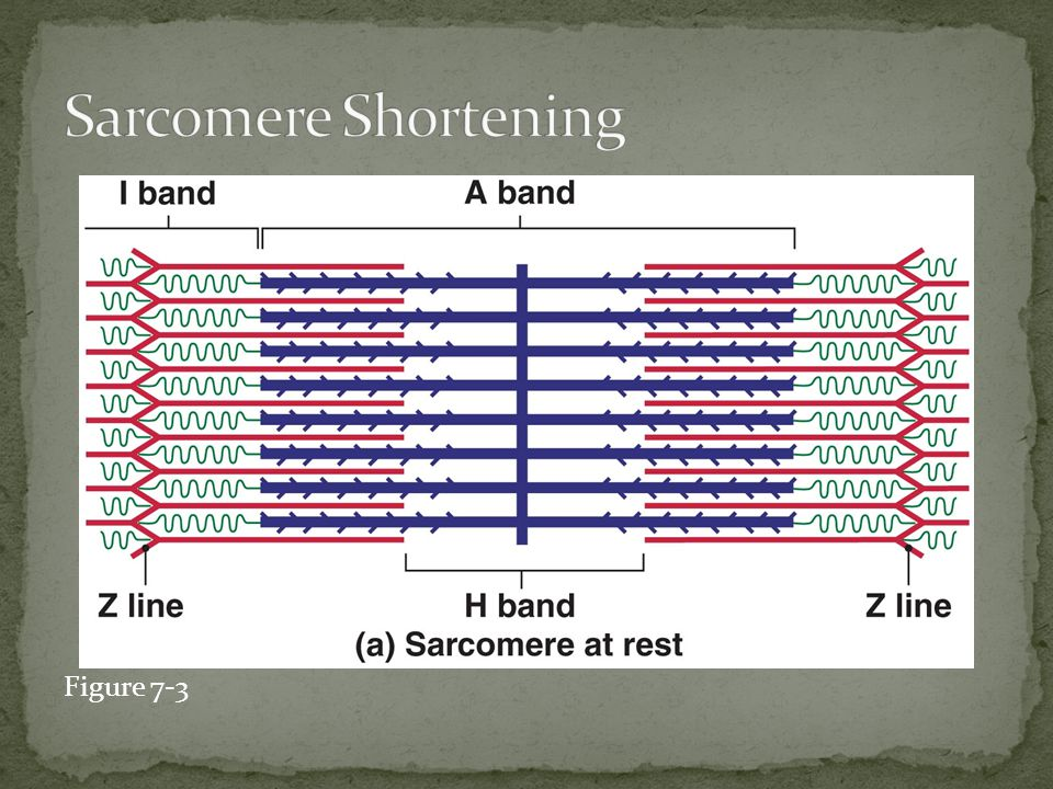3.The attached myosin head bends/pivots towards the sarcomere, and ADP and P are released.