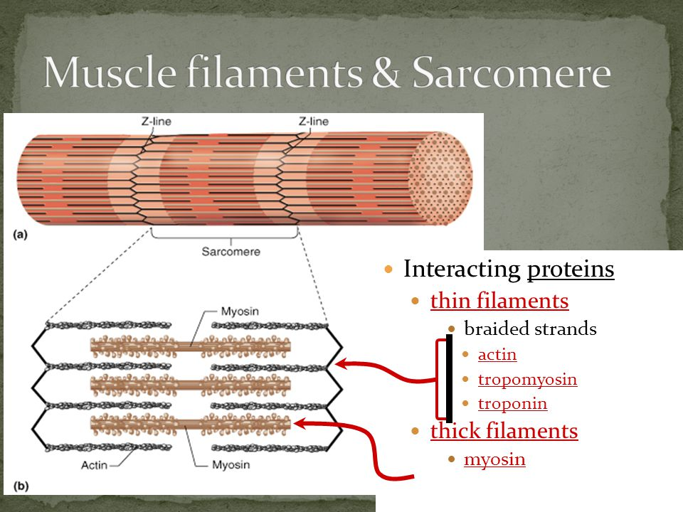 Muscle Fiber muscle cell divided into sections = sarcomeres Sarcomere functional unit of muscle contraction alternating bands of thin (actin) & thick (myosin) protein filaments