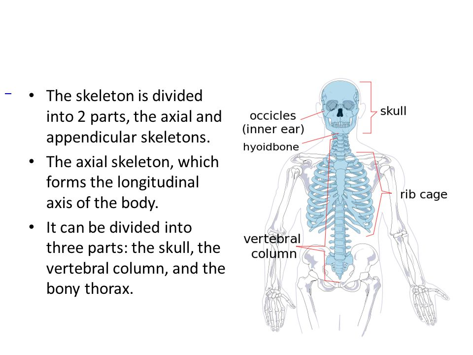 The skeleton is divided into 2 parts, the axial and appendicular skeletons. The axial skeleton, which forms the longitudinal axis of the body. It can