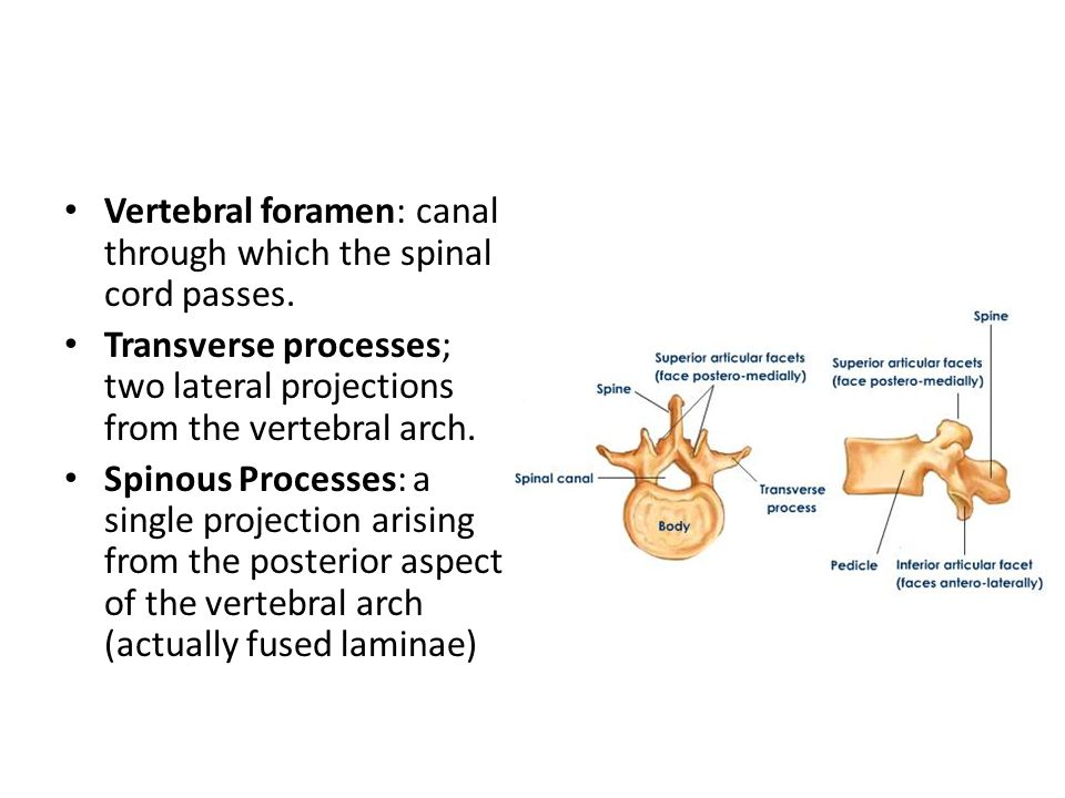 Vertebral foramen: canal through which the spinal cord passes. Transverse processes; two lateral projections from the vertebral arch. Spinous Processe