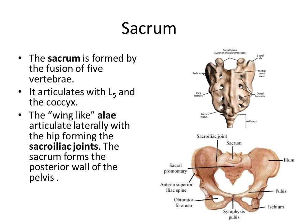 "Sacrum The sacrum is formed by the fusion of five vertebrae. It articulates with L 5 and the coccyx. The ""wing like"" alae articulate laterally with th"